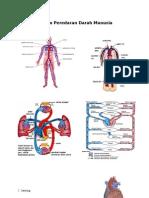 Biologi. Gambar Sistem Peredaran Darah2