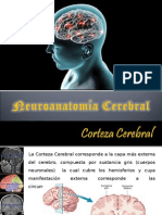 Neuroanatomia Cerebral