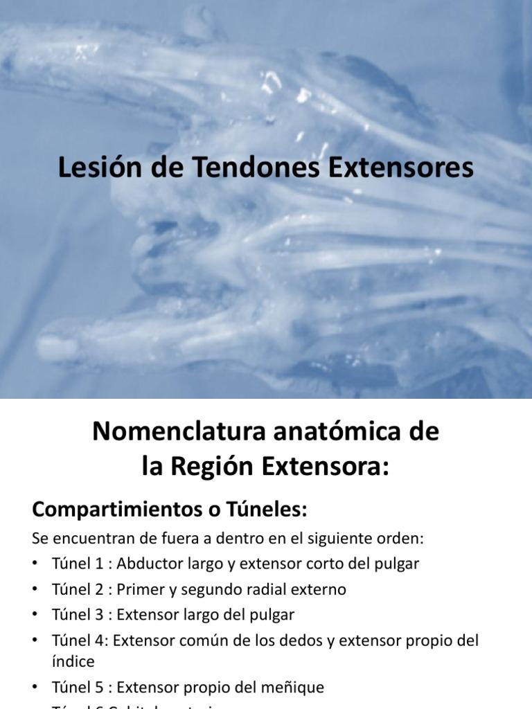 Único Tendones Del Pulgar De La Anatomía Motivo - Anatomía de Las ...