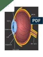 Anatomia Ochiului Uman