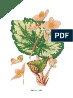 Bego 12 Begonia Rex