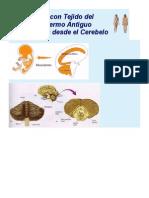 Organos Con Tejido Del Mesodermo Antiguo