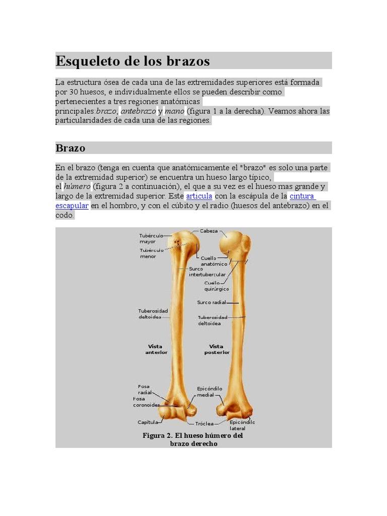 Encantador Anatomía Del Hueso Del Brazo Modelo - Imágenes de ...
