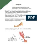 Sistema Muscular- Uniderp