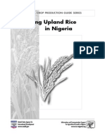 Rice Growing Upland Rice Nigeria