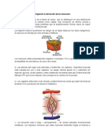 Irrigación e Inervación de Los Músculos