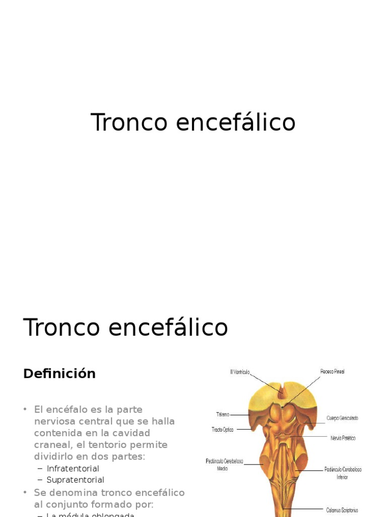 Bonito Anatomía Y Fisiología Del Tronco Cerebral Imágenes - Imágenes ...