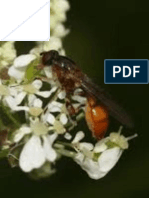 Identification key to species of sphecini (Hymenoptera