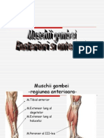 Prezentare a muschilor gambei