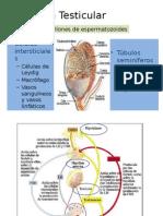Fisiología Testicular