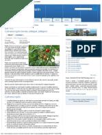 Cultivarea Roşiilor (Tomate, Pătlăgele, Plătăgeni) _ Drobeta Turnu Severin