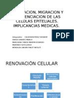 Renovacion, Migracion y Diferenciacion de Las Celulas Epiteliales