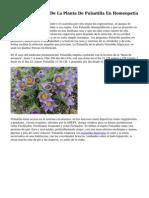 Pulsatilla El Papel De La Planta De Pulsatilla En Homeopatia