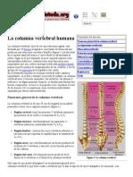 Columna Vertebral Humana