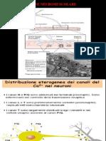 NF Lez 08 Giunz Neuromusc PB