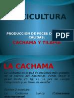 Piscicultura tilapia y cachama