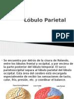 Lobulo Parietal