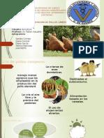 Cría y Explotación de Pollos Camperos