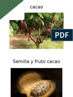 cacao.pptx