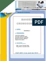 Bandeo-Cromosómico