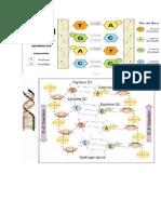 Telómeros y Telomerasas