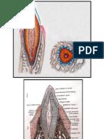 histologia Dintelui