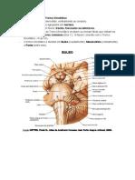 Tronco Encefálico - Resumo Neuroanatomia