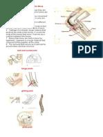 How Some Bones Make Us Move.docx