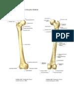 Gambar Anatomi Tulang Femur