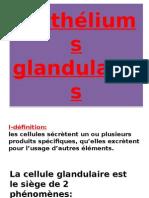 02 Copie de Épithéliums Glandulaires