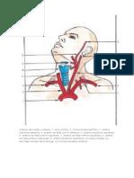 Arterias Del Cuello y Cabeza