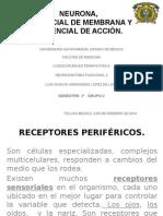 Receptores Perfericos, Circuitos Neuronales , Sensaciones Somaticas