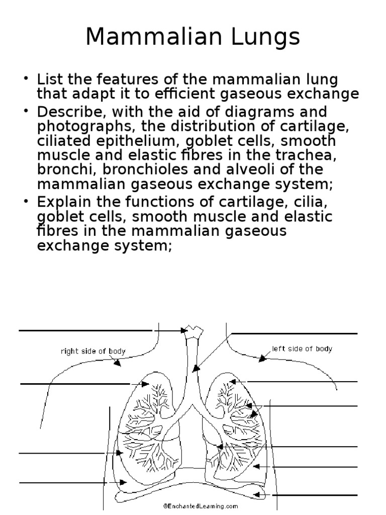 As 1 2 1 mammalian lungs lung diffusion ccuart Images