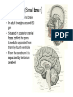 Cerebellum(Small Brain)