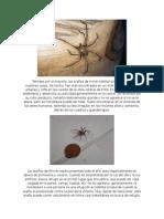 Arañas de Rincón.