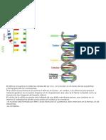 El ADN se encuentra en todas las células del ser vivo.docx