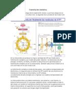 8.- Fosforilacion Oxidativa