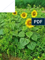 The effect of water deficit on characteristics phisyological-chemical of sunflower (Helianthus Annuus L.) varieties