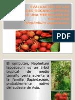 Presentacion Rambutan