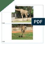 Giraffe & Korat Zoo