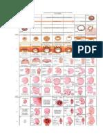 Desenvolvimento Embrionário Humano