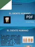diente humano