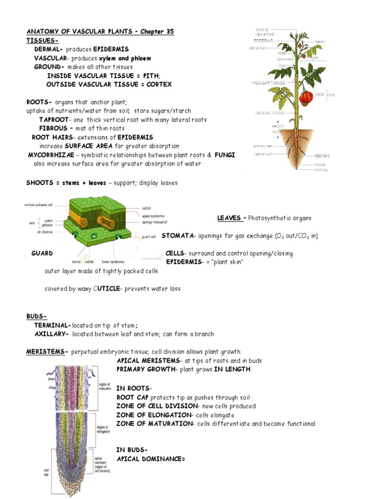 anatomy vascularplants 35 (1).doc | Root | Plant Stem