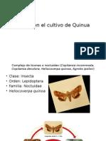 Plagas en El Cultivo de Quinua