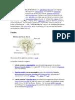 La Hipófisis o Glándula Pituitaria Es Una Glándula Endocrina Que Segrega Hormonas Encargadas de Regular La Homeostasis Incluyendo Las Hormonas Tróficas Que Regulan La Función de Otras Glándulas Del Sistema Endocrino