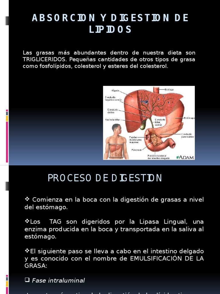 Metabolismo de Lipidos I fase de absorcion - Digestión - Bilis