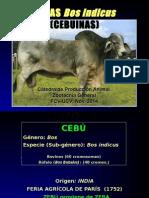 Razas de Carne Bos Indicus