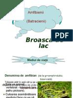 broascadelac_amfibieni_