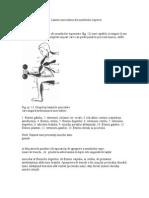 Lanturi Muscularea Ale Membrului Superior