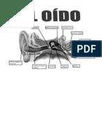 El Oido Sus Partes y Funciones